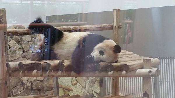 寝返り打つパンダ