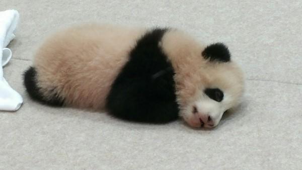 パンダの赤ちゃん「結浜(ゆいひん)」